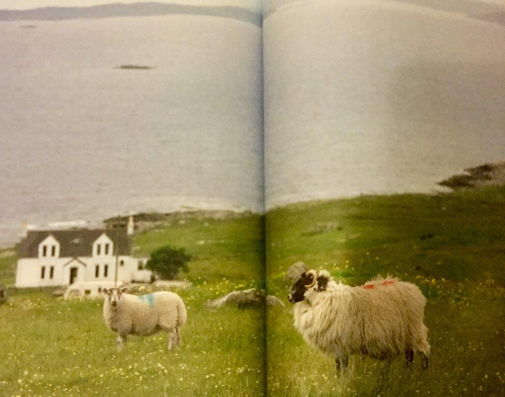 【ルイス島の羊 (手前は、ブラック・フェイス種)】